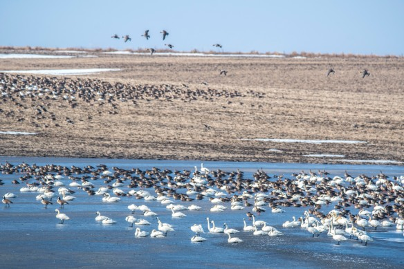 3.22.2020 snowgeese55